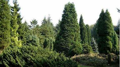 Изображение для категории Хвойные деревья